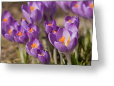 The Crocus Flowers Greeting Card