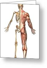 The Human Skeleton And Muscular System Greeting Card