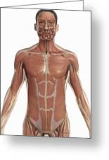The Muscles Of The Torso Greeting Card