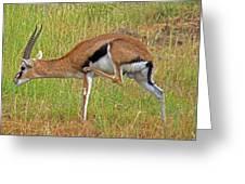Thomson's Gazelle Greeting Card