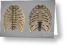 Thoracic Cage Greeting Card