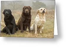 Three Kinds Of Labradors Greeting Card