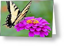 Tiger Swallowtail Butterfly On Zinnia Greeting Card