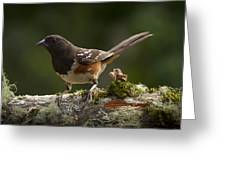 Towhee Greeting Card