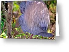 Tricolored Heron Egretta Tricolor Greeting Card