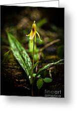 Trout Lily  Greeting Card
