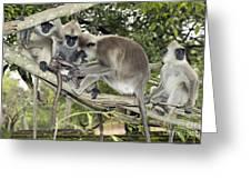 Tufted Grey Langurs Greeting Card