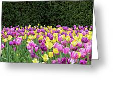 Tulip Flowers In A Garden, Chicago Greeting Card