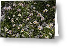 Tulipa Saxatilis Ssp. Bakeri Greeting Card