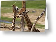 Two Reticulated Giraffes  - Giraffa Camelopardalis Greeting Card