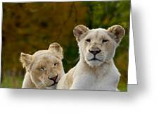 Two White Lions Greeting Card