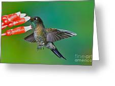 Tyrian Metaltail Greeting Card