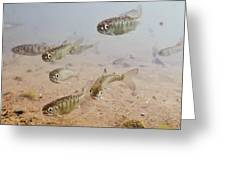 Underwater View Of Coho Salmon Greeting Card