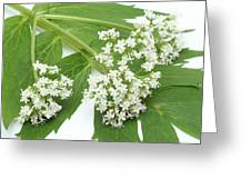 Valerian Flowers (valeriana Officinalis) Greeting Card