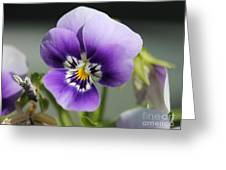 Viola Named Sorbet Marina Baby Face Greeting Card by J McCombie