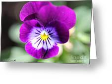 Viola Named Sorbet Plum Velvet Jump-up Greeting Card