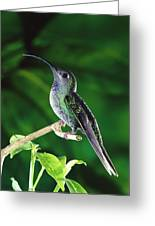 Violet Sabre-wing Hummingbird Greeting Card by Michael and Patricia Fogden