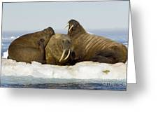 Walruses Resting On Ice Floe Greeting Card