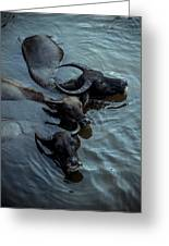 Water Buffalos Greeting Card