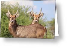 Waterbuck Bull Brothers Greeting Card