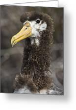 Waved Albatross Molting Juvenile Greeting Card