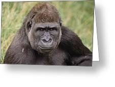 Western Lowland Gorilla Young Male Greeting Card