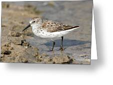 Western Sandpiper Calidris Mauri Greeting Card
