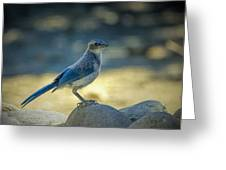 Western Scrub Jay Thief Greeting Card