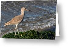 Western Willet Greeting Card