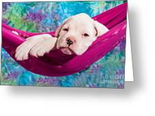 White Boxer Dog Puppy Greeting Card by Doreen Zorn