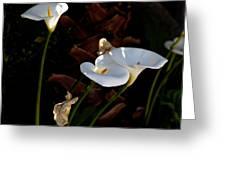 White Calla Lilies Greeting Card