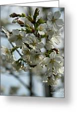 White Cherry Blossoms Greeting Card
