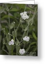 White Rose Campion Greeting Card