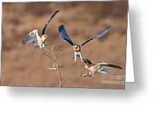 White-tailed Kite Siblings Greeting Card
