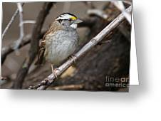 White-throated Sparrow Greeting Card