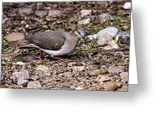 Whitetipped Dove Greeting Card