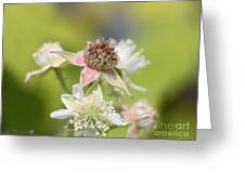 Wild Black Raspberry Blossom Greeting Card