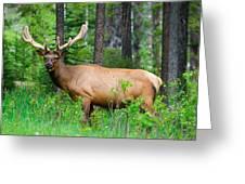 Wild Bull Elk Greeting Card