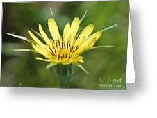 Wildflower Named Yellow Salsify Greeting Card