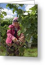 Wine Grape Harvest Greeting Card