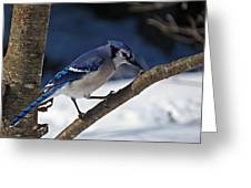 Hungry Winter Blue Jay Greeting Card