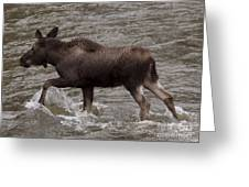 Yearling Moose In The Shoshone River   #1289 Greeting Card
