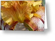 Yellow And Maroon Iris Greeting Card