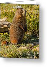Yellow Bellied Marmot On Alert In  Rocky Mountain National Park Greeting Card
