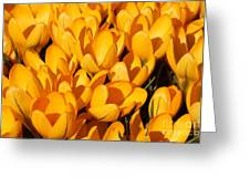 Yellow Crocus Flowers In Sunlight Greeting Card