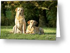Yellow Labrador Retrievers Greeting Card