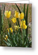 Yellow Tulips At The Arboretum Greeting Card