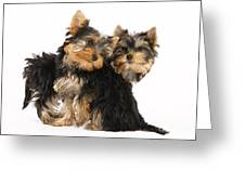 Yorkie Puppies Greeting Card