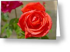 Young Red Rose After Rain Greeting Card