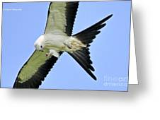 Young Swallow-tailed Kite Greeting Card